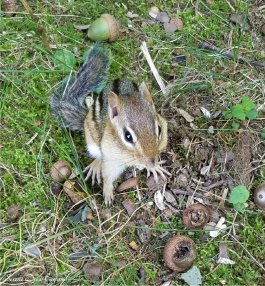 buster chipmunk acorns